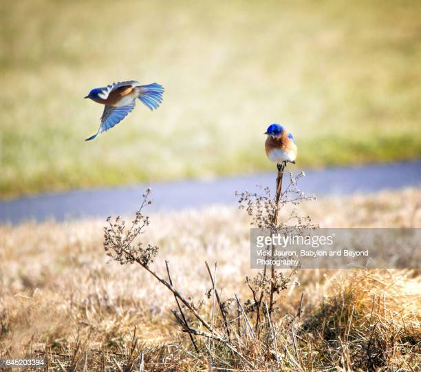 two eastern bluebirds (sialia sialis) at exton park - eastern bluebird stock pictures, royalty-free photos & images