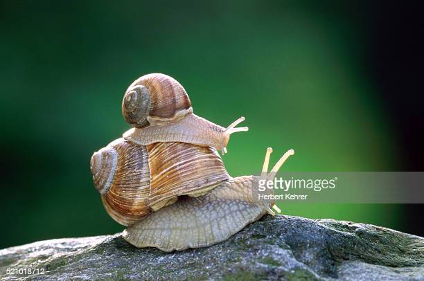 two edible snails piggy-back - animal family stock pictures, royalty-free photos & images