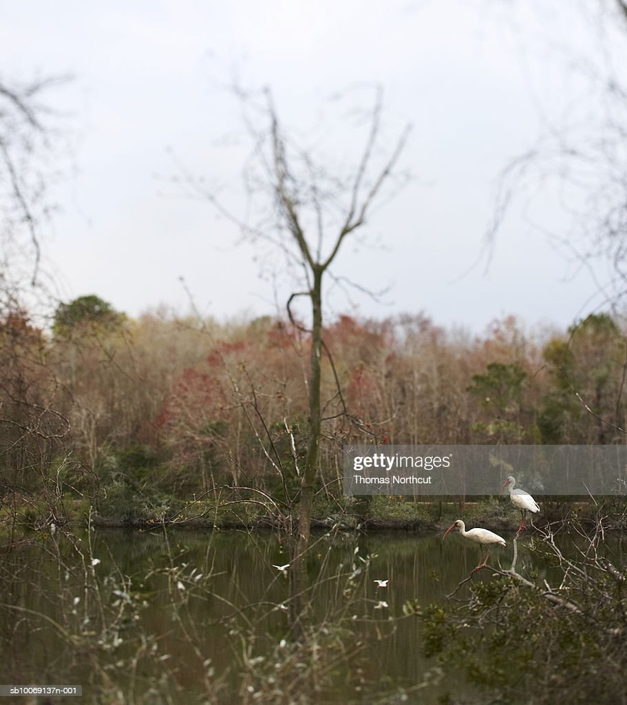 Two egrets by pond, differential focus : Stockfoto