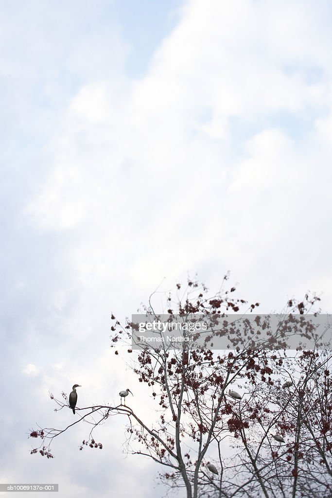 Two egrets on tree branch, distant view : Stockfoto