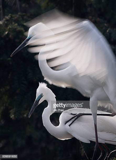 Two egrets play on the tree in a forest in Xinjian county Jiangxi province China on 16th April 2015