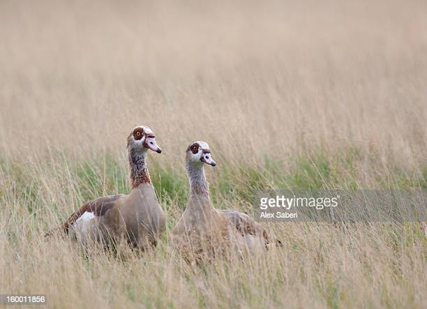 two egyptian geese, alopochen aegyptiacus, hide in long grass. - alex saberi stockfoto's en -beelden