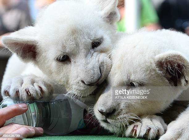 Two eightweek old white lion cubs Mombasa and Nala play intheir new home in Abony Hungary on June 3 2014 The brother and sister lions one of the...