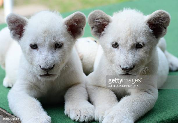 Two eightweek old white lion cubs Mombasa and Nala settle into a new home a private zoo in Abony Hungary on June 3 2014 The brother and sister lions...