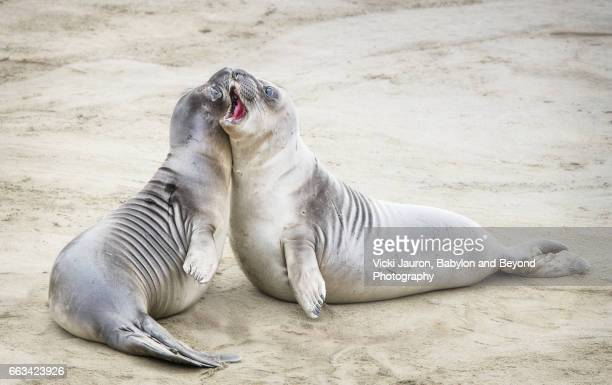 Two Elephant Seal Pups at Play