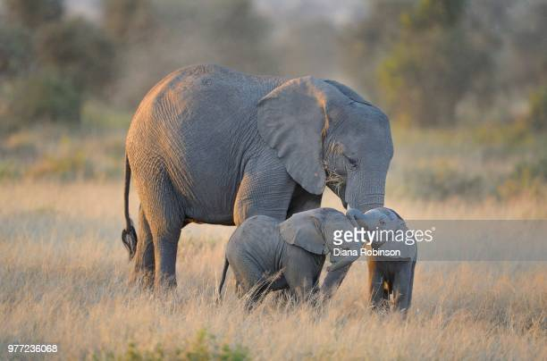 two elephant twins with adult elephant, amboseli national park, kenya - young animal stock pictures, royalty-free photos & images