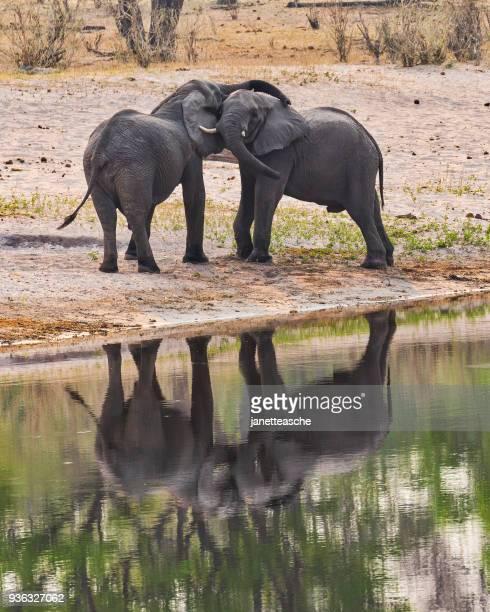 Two elephants by a waterhole, Bwabwata National Park, Namibia