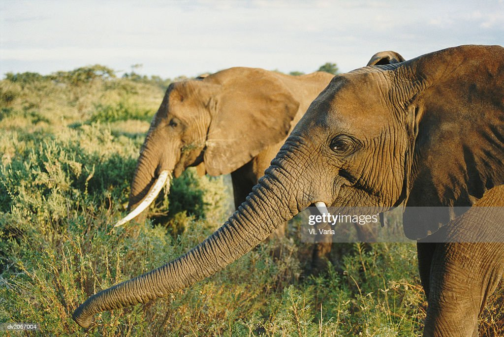 Two Elephants Eating Grass : Stock Photo