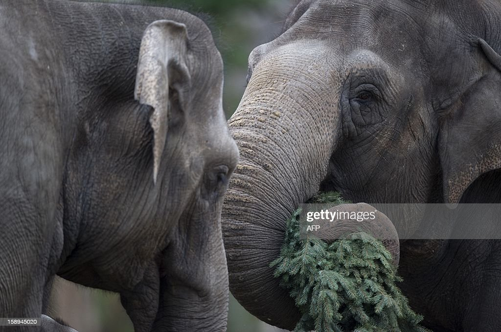 Two elephants enjoy some Christmas trees on January 4, 2013 at the Zoologischer Garten zoo in Berlin. Traditionally, elephants at the Berlin zoo are given for food the trees that were left over from Christmas tree sale during the first days of January.
