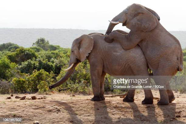 two elephants mating in addo elephant national park - sex stock photos and pictures