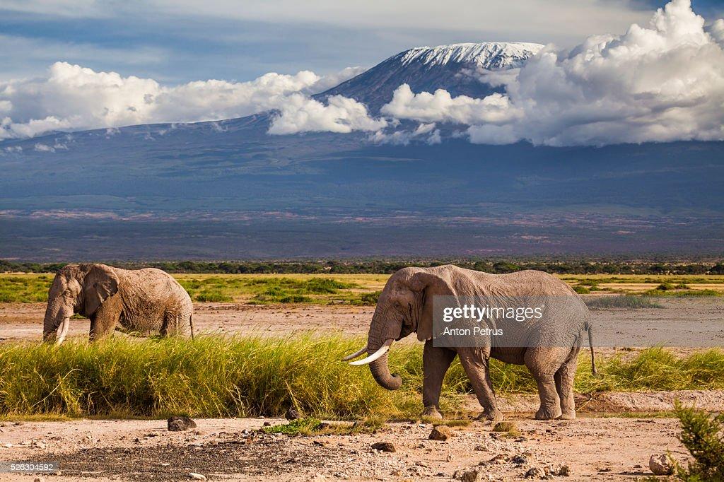 Two elephants on a background of Mount Kilimanjaro, Amboseli, Kenya : Foto de stock