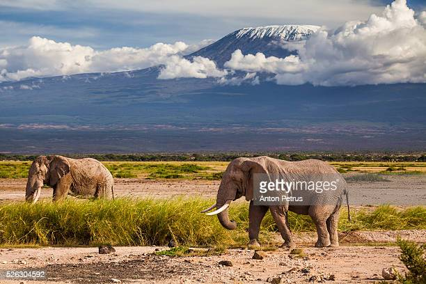 Two elephants on a background of Mount Kilimanjaro, Amboseli, Kenya