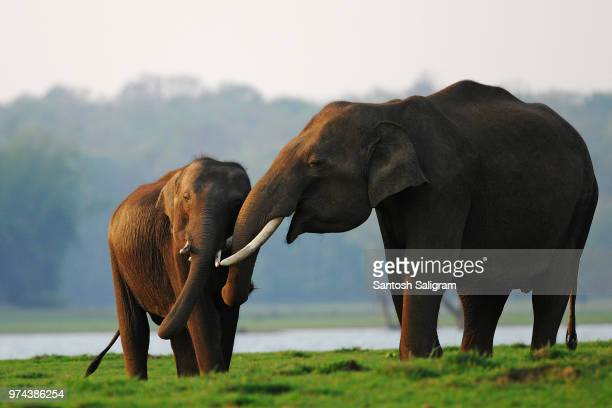 two elephants on grass, kabini, india - indian elephant stock pictures, royalty-free photos & images