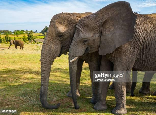 Two elephants pausing for a moment's closeness, Kynsna Elephant Park, Knysna, South Africa