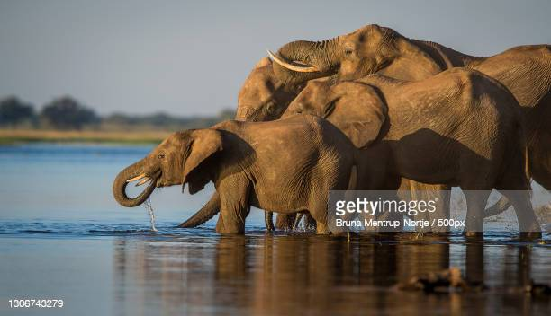 two elephants playing together,chobe national park,botswana - erbivoro foto e immagini stock