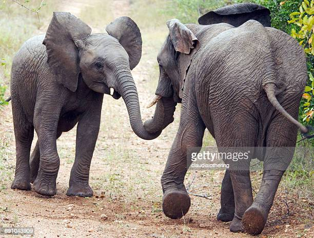 Two elephants rubbing noses, South Africa