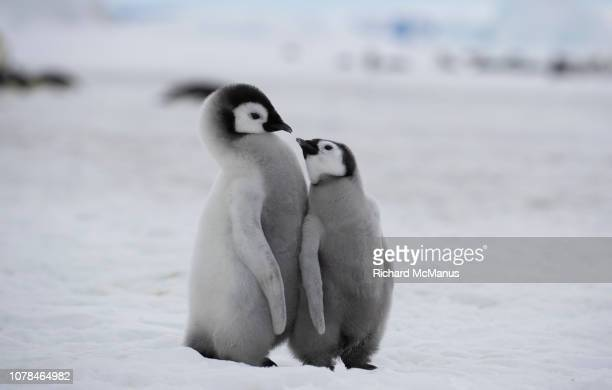 two emperor penguins at snow hill. - emperor penguin chick stock pictures, royalty-free photos & images
