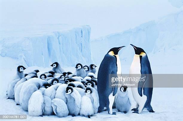Two emperor penguins beside group of chicks huddled together