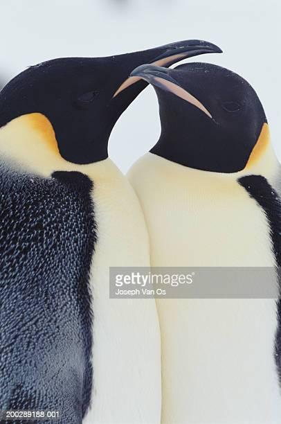 Two emperor penguins (Aptenodytes forsteri) in courtship display
