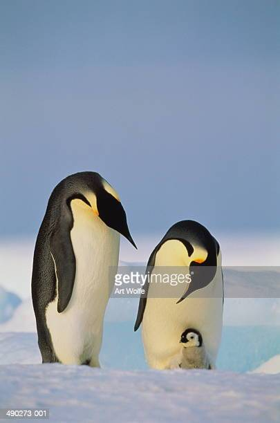 Two emperor penguins (Aptenodytes forsteri) with chick, Antarctica