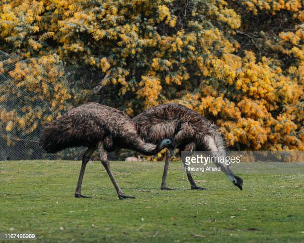 two emu eating grass - emu farming stock pictures, royalty-free photos & images