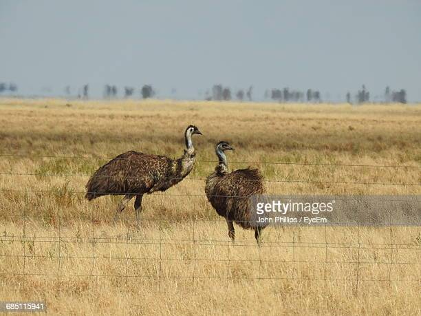 two emus in field - emu farming stock pictures, royalty-free photos & images