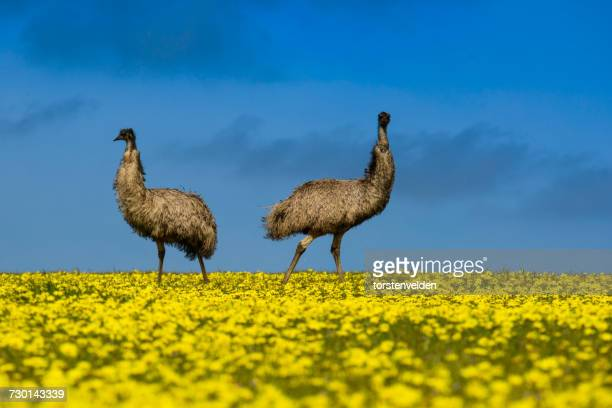 Two emus standing in a canola field, Port Lincoln, South Australia, Australia
