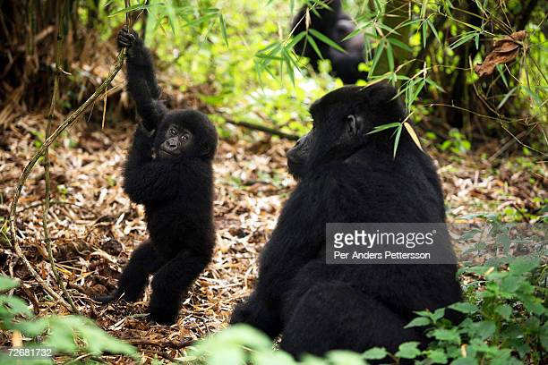 Two endangered mountain Gorillas play in the forest on September 30, 2006 in the Virunga National Park outside Goma, DRC. Only about 380 of these...