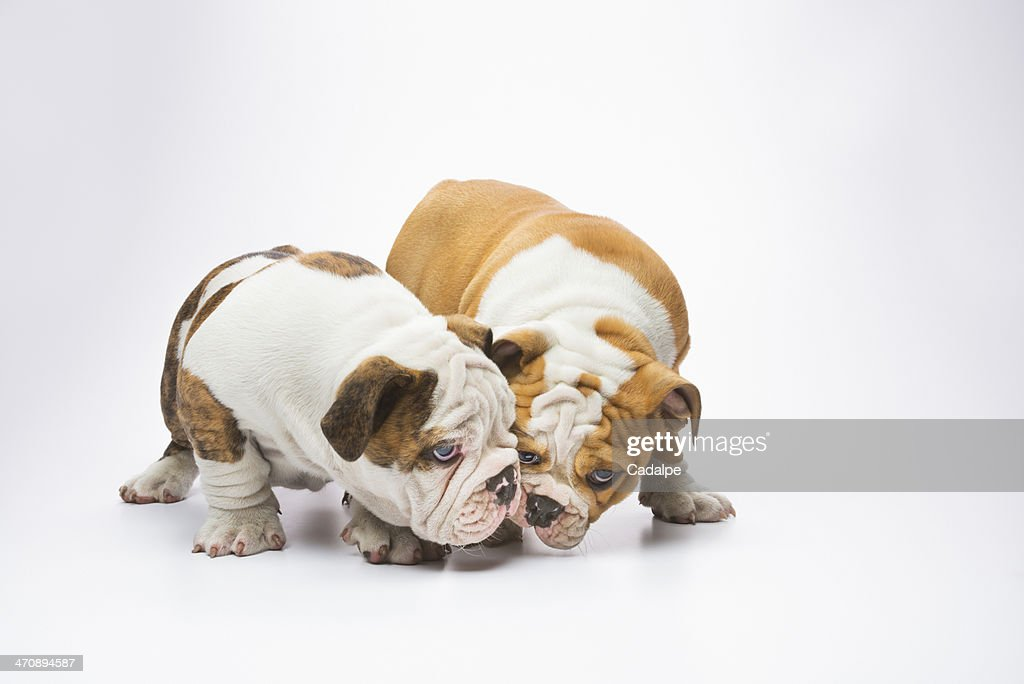 Two English Bulldog puppies smelling : Stock Photo