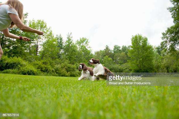 Two English Springer Spaniels in Field Running Towards Woman with Outstretched Arms