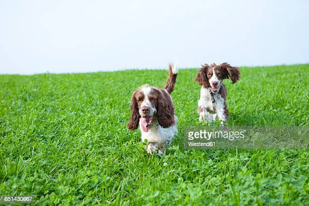two english springer spaniels running on a meadow - english springer spaniel stock pictures, royalty-free photos & images