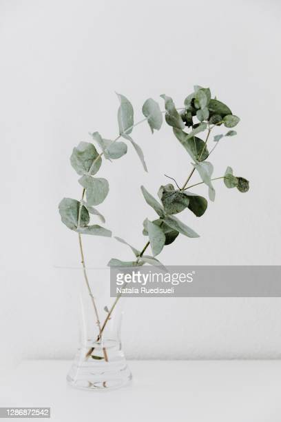 two eucalyptus branches in a glass vase on white background. - ユーカリの木 ストックフォトと画像