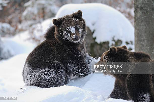 Two Eurasian brown bears (Ursus arctos arctos) in snow