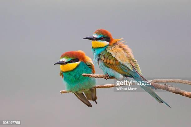 Two European bee-eaters -Merops apiaster- sitting on branch, Lake Neusiedl, Austria