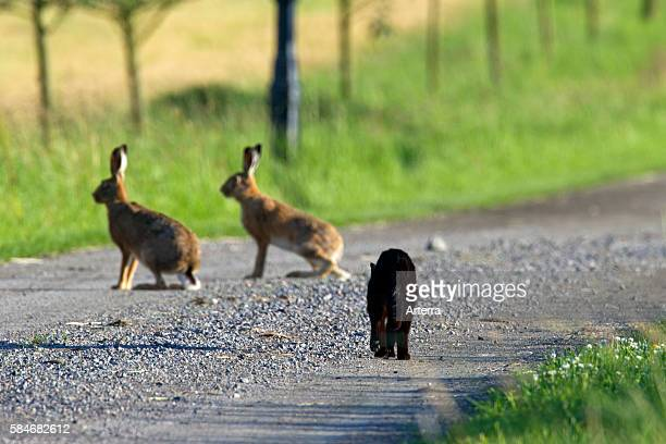Two European Brown Hares on a road being stalked by black domestic cat