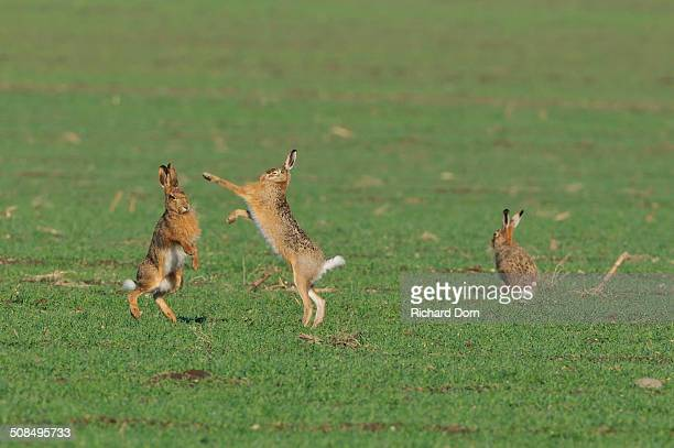 Two European Hares -Lepus europaeus- fighting on a field, a third one next to it