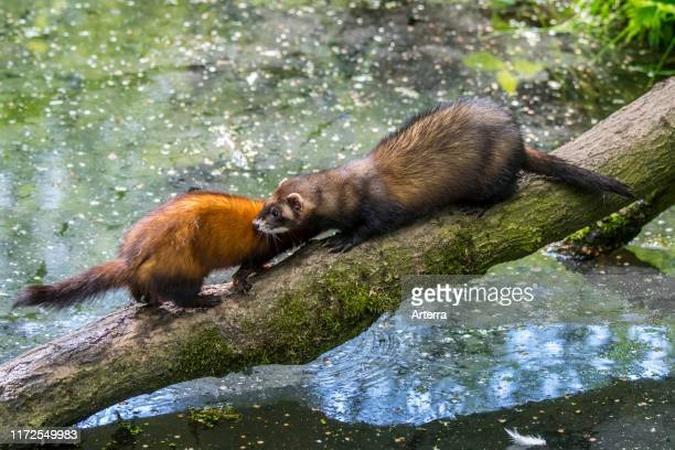 Two European polecats male and female crossing water of pond / stream over fallen tree