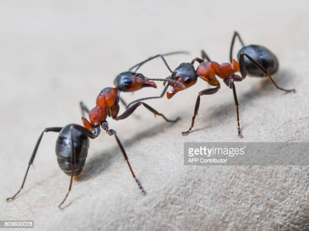 Two European red wood ants are pictured in a forest near Birkenwerder northeastern Germany on July 4 2017 / AFP PHOTO / dpa / Patrick Pleul / Germany...