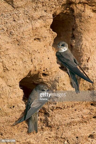 Two European sand martins / bank swallows at nest hole in breeding colony on river bank