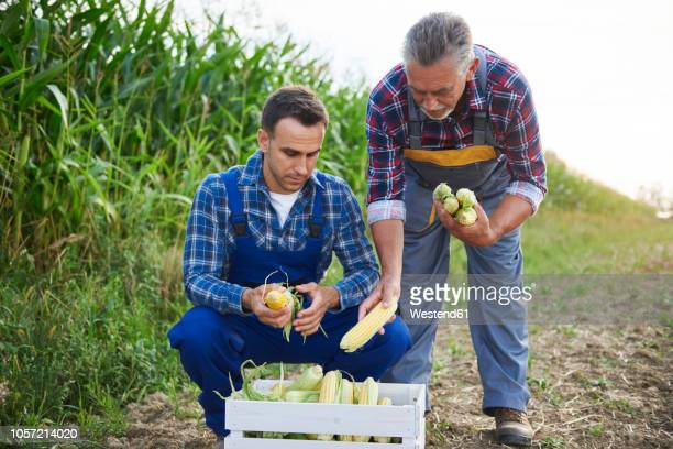 two experienced farmers controlling their corn crop - 後任 ストックフォトと画像