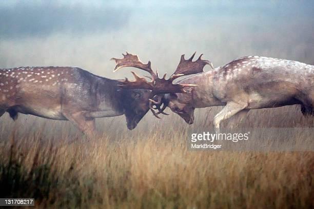 Two fallow buck deer rutting on misty morning