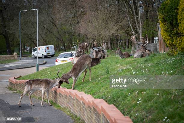 Two Fallow deer from Dagnam Park lock horns as others rest and graze on the grass outside homes on a housing estate in Harold Hill near Romford on...