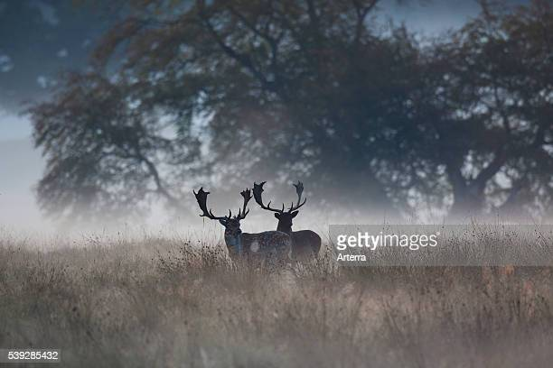 Two Fallow deer stags in the mist at forest edge in autumn during the rutting season