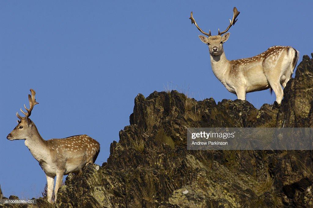 Two fallow deer standing on rocks : Foto stock