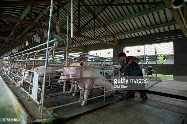 Two farm hands clean the excrement in the pen where they keep pregnant sows at the Grand Canal Pig Farm in Jiaxing, Zhejiang Province, China on 04...