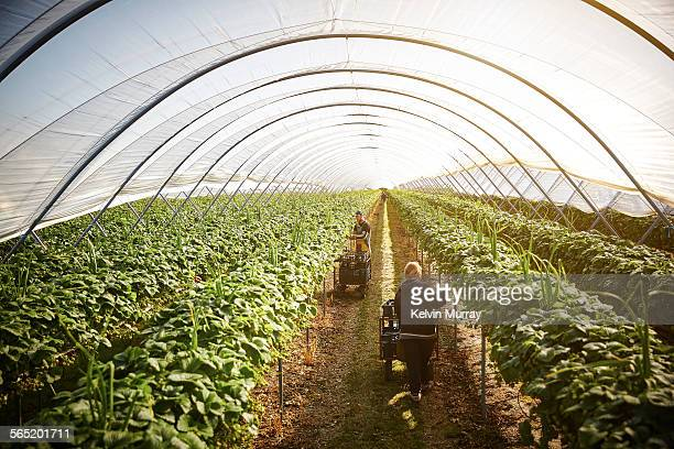 Two farm workers harvest strawberries