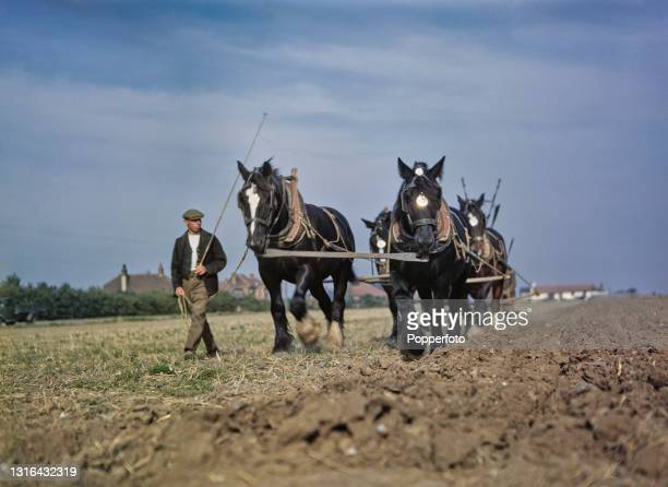 Two farm workers work with four heavy horses pulling a plough over a field on a farm in England in 1945.
