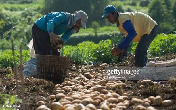 two farmers are harvesting potatoes - farm worker stock pictures, royalty-free photos & images
