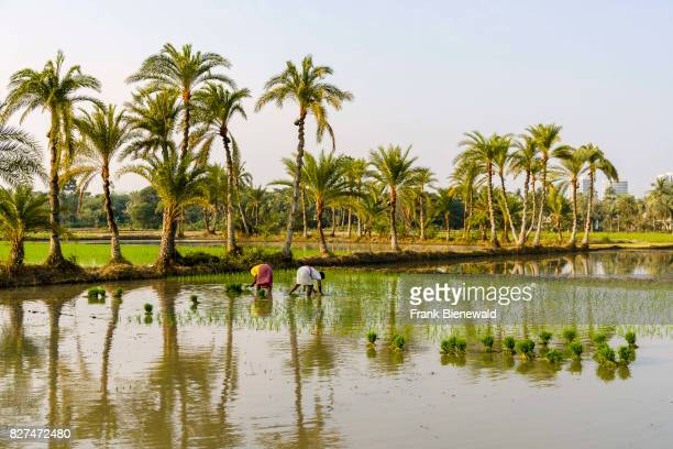 Two farmers are working on a rice field with young rice plants in the rural surroundings of the suburb New Town