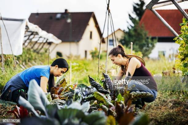 two farmers carefully maintaining organic crops by hand - simple living stock pictures, royalty-free photos & images